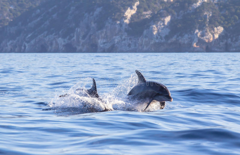 A dolphin leaping out of the blue water in the sea stock photo