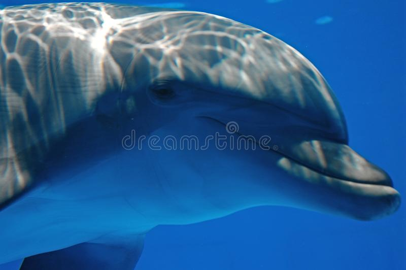Dolphin looking at the camera royalty free stock photos