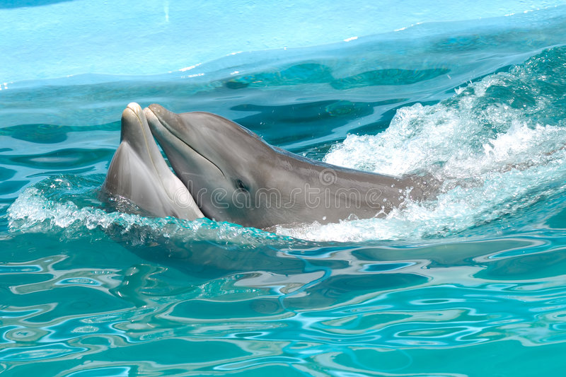 Dolphin love. Dolphin couple in love swimming close together royalty free stock photo