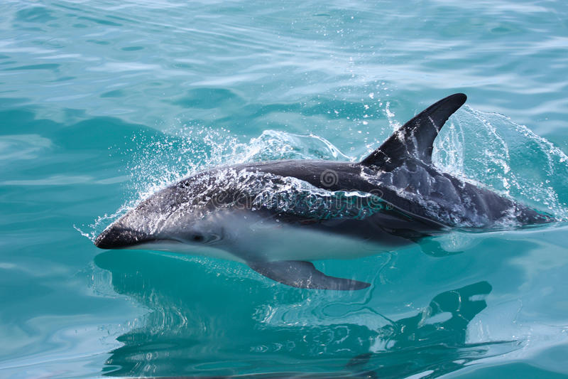Dolphin, New Zealand. Dolphin Splashing Water, New Zealand royalty free stock photography