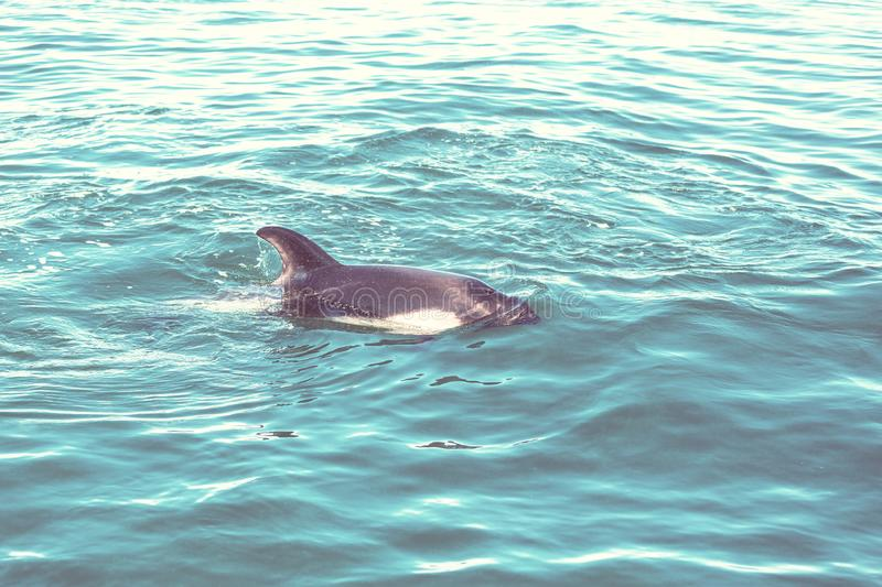 Dolphin. In ocean, Argentina stock photos