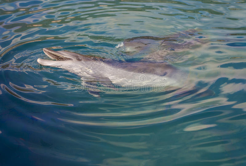 Dolphin playing in the sea royalty free stock photo