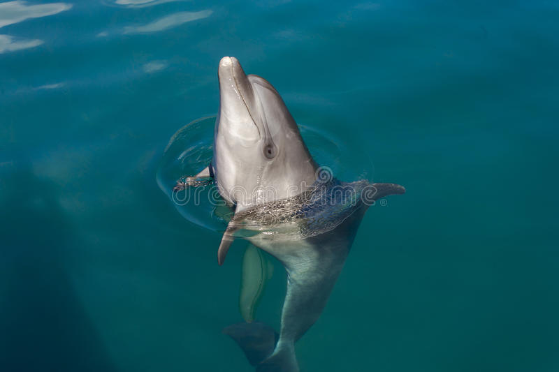 Dolphin playing in the sea stock photos