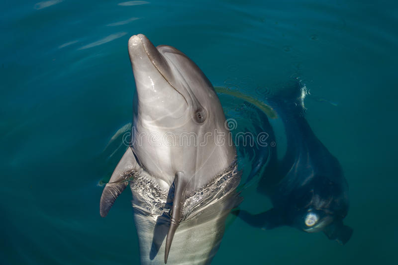 Dolphin playing in the sea stock photography