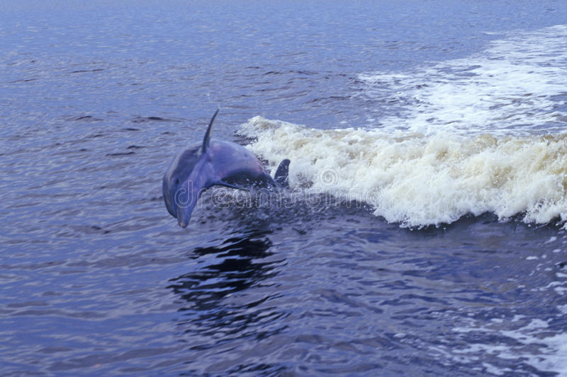 Dolphin playing in water, Everglades National Park, 10, 000 Islands, FL stock photo