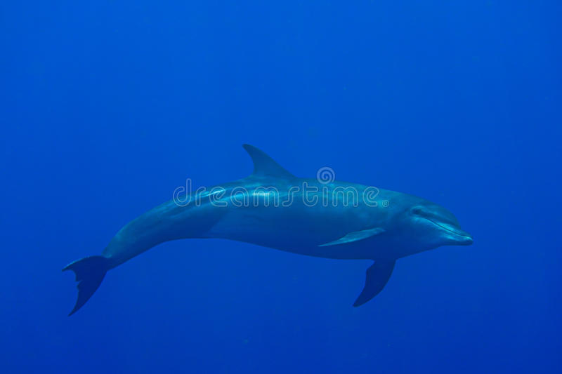 Dolphin. Plays while snorkeling Underwater world life, Marin life royalty free stock images