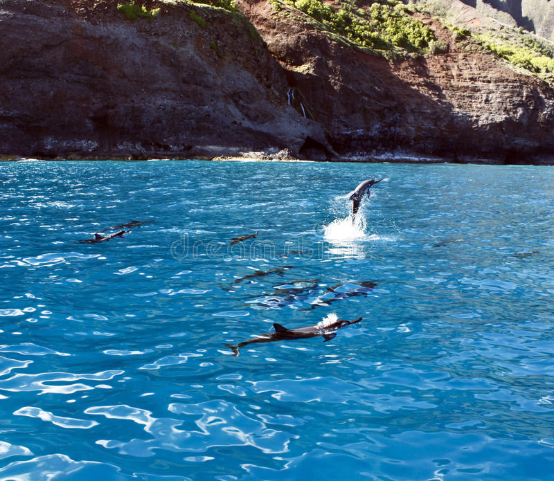 Dolphin Pod. With one dolphin jumping out of the water on Na Pali Coast stock image