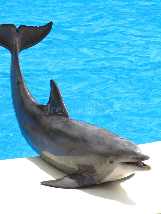 Download Dolphin Pose stock photo. Image of dorsal, mammal, pose - 15642360
