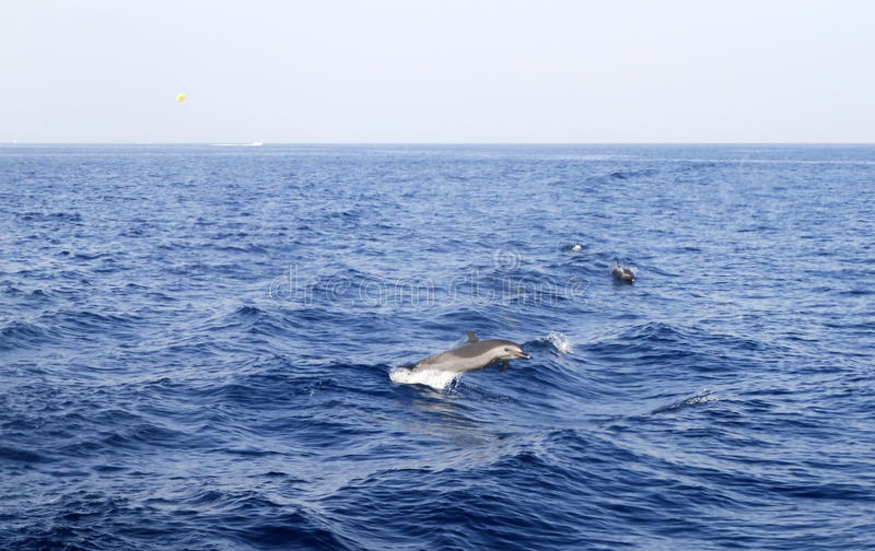 Download Dolphin in Red Sea stock image. Image of show, intelligent - 13497011