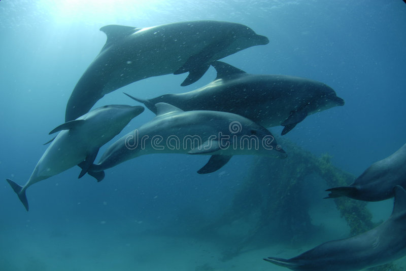 Dolphin in red sea royalty free stock photo