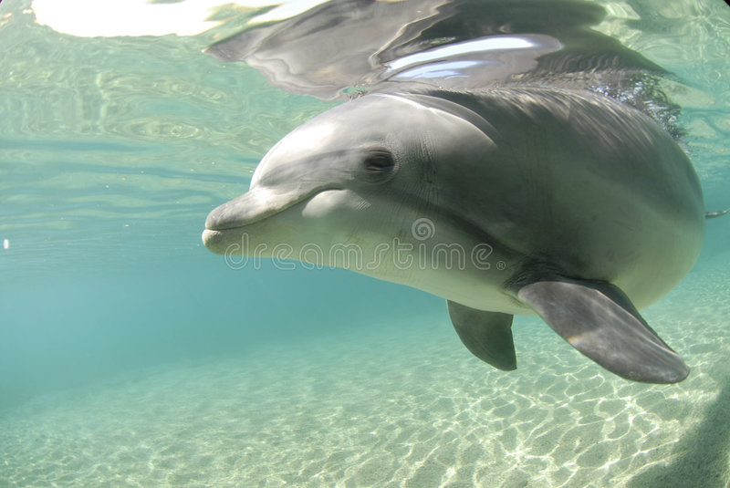 Dolphin in red sea stock photography