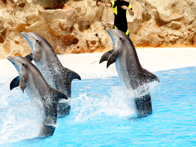 Dolphin Show. A trio of bottlenose dolphin performing a tail stand stock photo