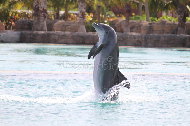 Dolphin Show Atlantis Bahamas. A dolphin is performing during a show at the Atlantis resort in the Bahamas royalty free stock photography