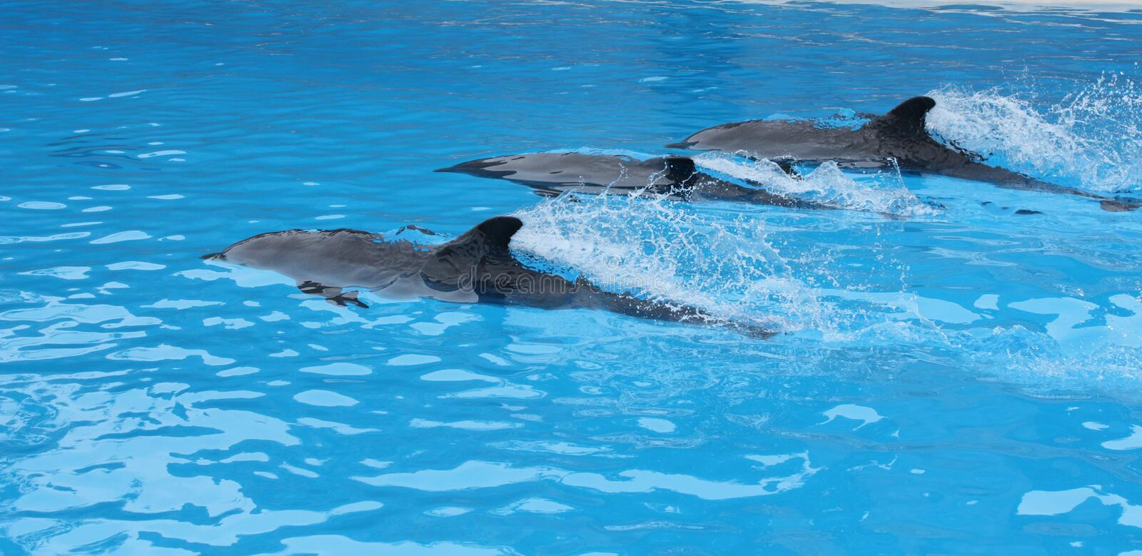 Dolphin show in Loro Parque. In Tenerife, Canary Islands royalty free stock photos