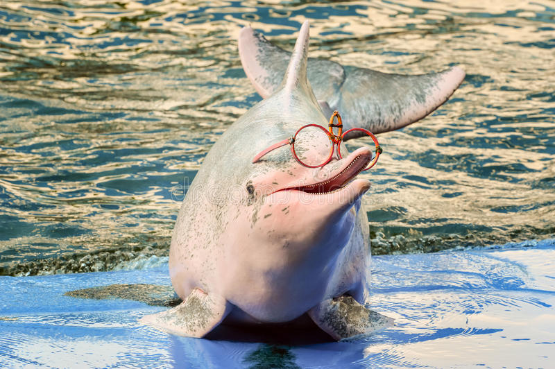 Dolphin shows in Zoo. Dolphin in Zoo. Dolphins are an informal grouping of the infraorder Cetacea and diverse group of aquatic mammals stock photos
