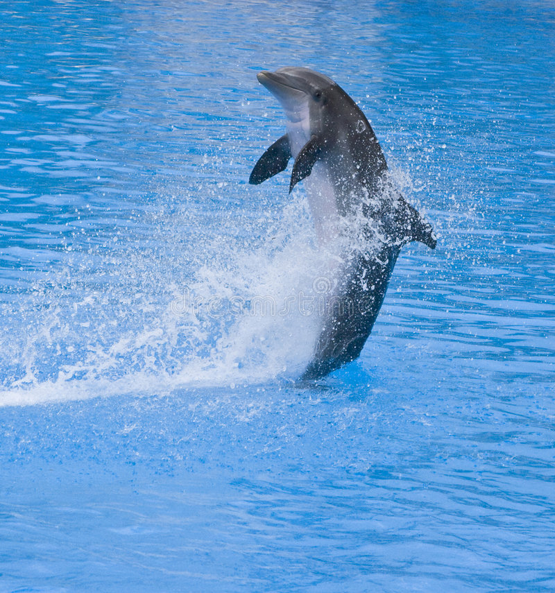 Dolphin splashing. Dolphin jumping out of the blue water