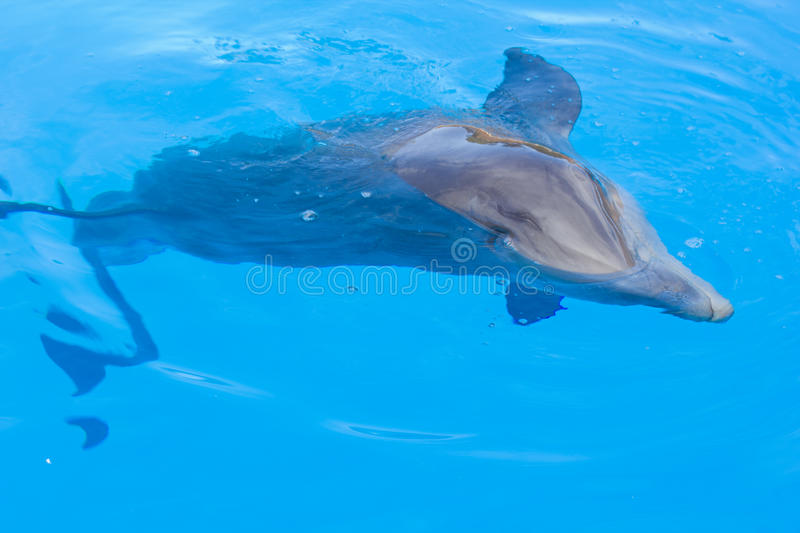 Dolphin swimming in blue water stock photography