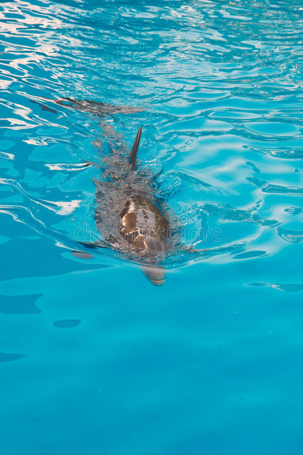 Dolphin swimming in blue water stock photos