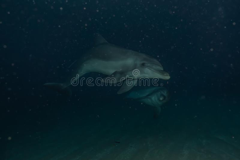 Dolphin swimming in the Red Sea, Eilat Israel. Dolphin swimming with divers in the Red Sea, Eilat Israel royalty free stock images
