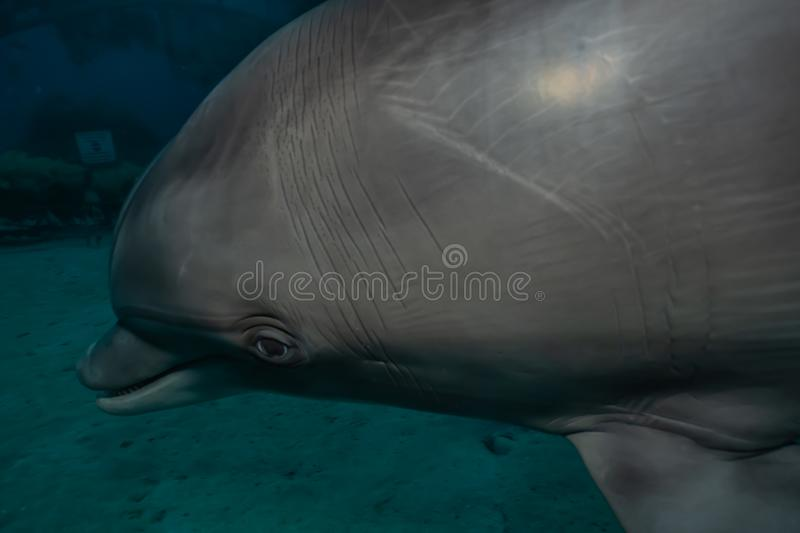 Dolphin swimming in the Red Sea, Eilat Israel. Dolphin swimming with divers in the Red Sea, Eilat Israel stock image