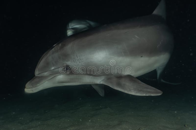 Dolphin swimming in the Red Sea, Eilat Israel. Dolphin swimming with divers in the Red Sea, Eilat Israel stock photo