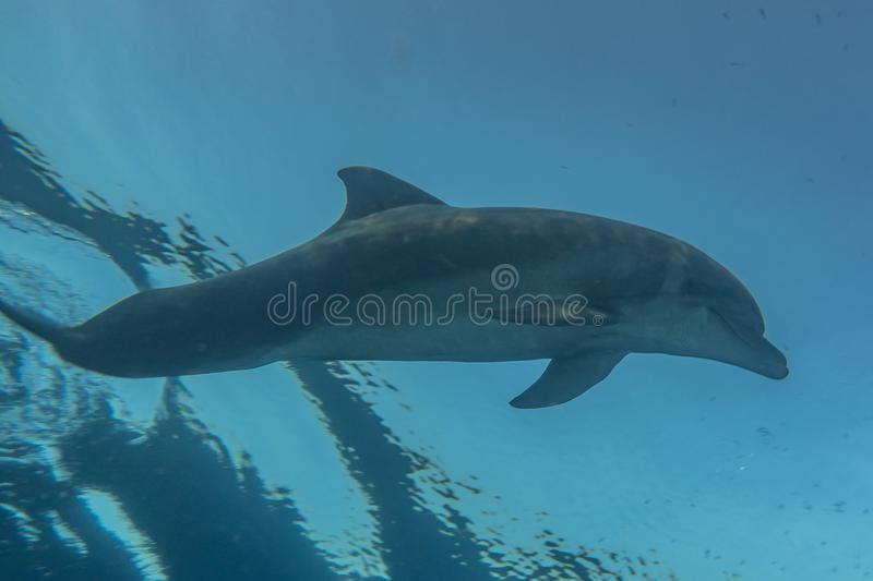 Dolphin swimming in the Red Sea stock images