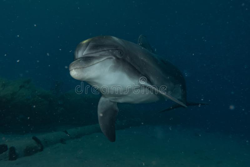Dolphin swimming in the Red Sea royalty free stock photo