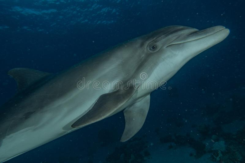 Dolphin swimming in the Red Sea royalty free stock images