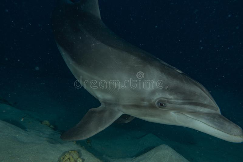 Dolphin swimming in the Red Sea royalty free stock image