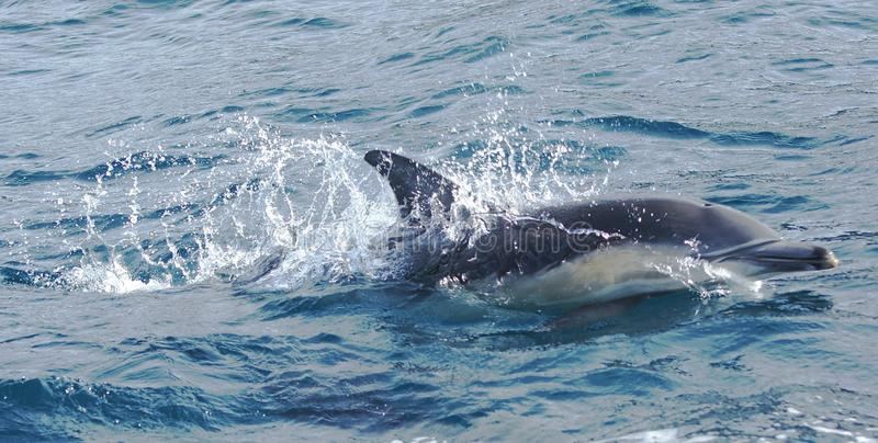 Dolphin Swimming. Dolphins are a widely distributed and diverse group of aquatic mammals. They are an informal grouping within the order Cetacea, excluding stock images