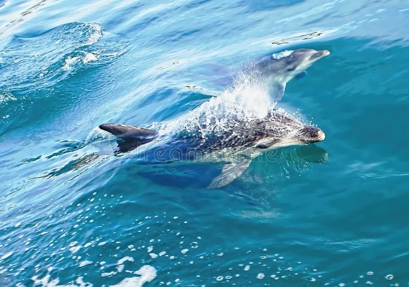 Dolphin Swimming. Although dolphins are widespread, most species prefer the warmer waters of the tropic zones, but some, like the right whale dolphin, prefer royalty free stock photography