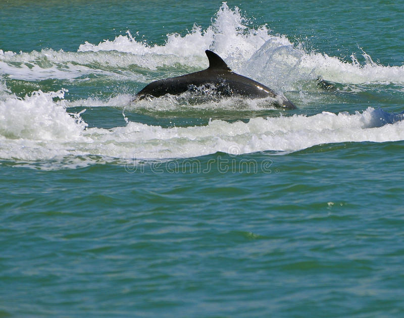 Dolphin Swimming, Florida. A grey dolphin jumps out of the water while porpoising in the inter-coastal waterway off the Gulf of Mexico near Clearwater Beach stock photo