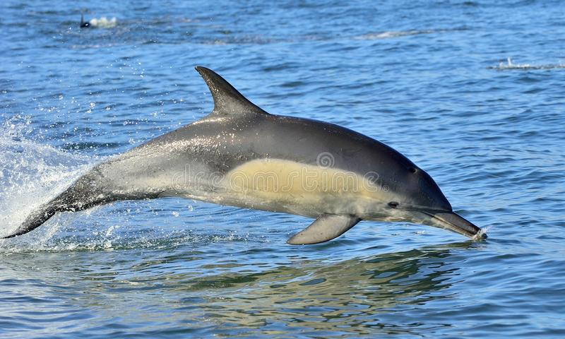 Dolphin, swimming in the ocean. The Long-beaked common dolphin scientific name: Delphinus capensis in atlantic ocean royalty free stock photos