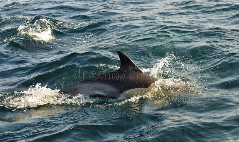 Dolphin, swimming in the ocean and hunting for fish.. The jumpi. Ng dolphin comes up from water. The Long-beaked common dolphin (scientific name: Delphinus stock photography