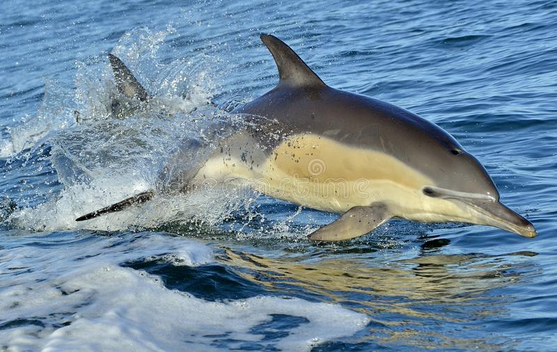 Dolphin, swimming in the ocean. The Long-beaked common dolphin scientific name: Delphinus capensis in atlantic ocean stock photos