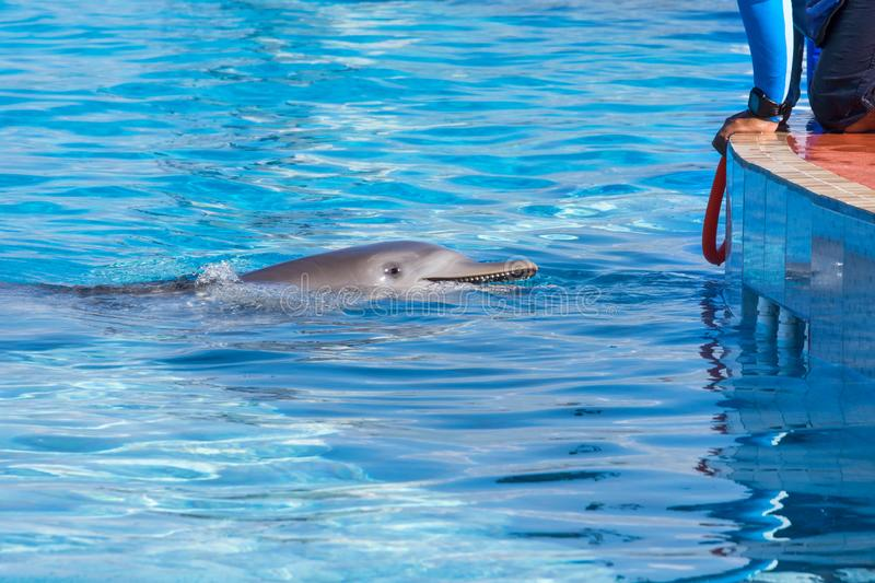 A dolphin swimming to the trainer to get a hoop and play stock images