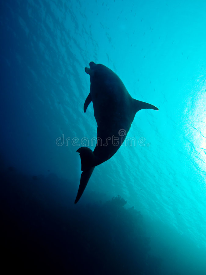 Dolphin underwater in Red Sea royalty free stock photography