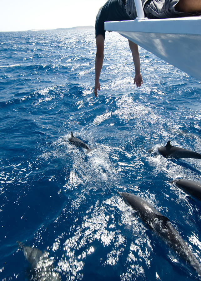 Dolphin Watching. From the bow of a boat royalty free stock photography