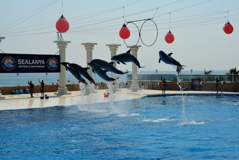 Dolphinarium em Turquia Golfinhos do voo fotos de stock
