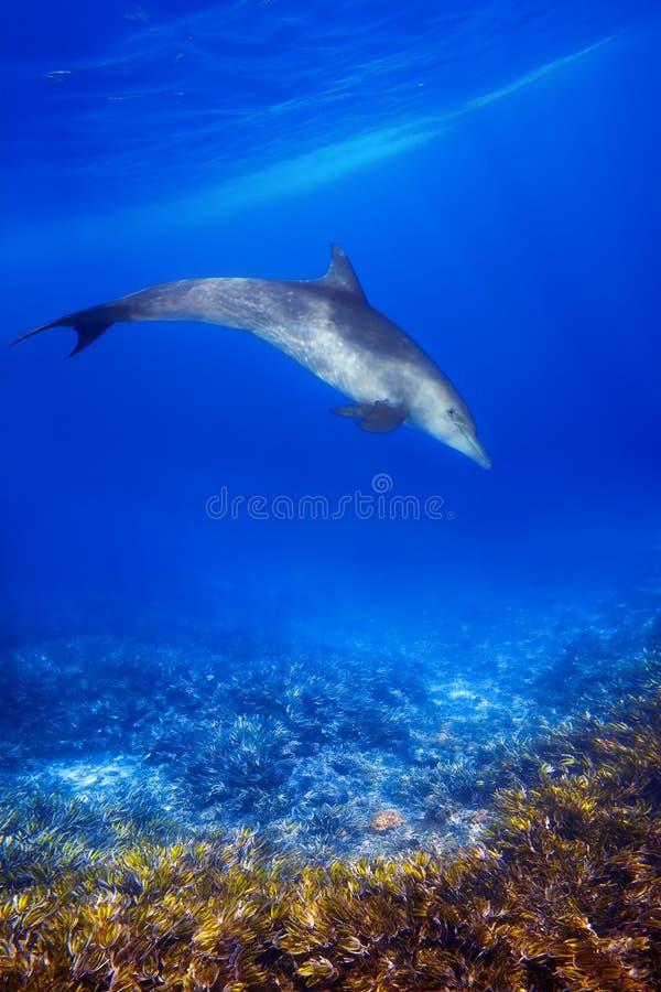 Dolphind och koraller fotografering för bildbyråer