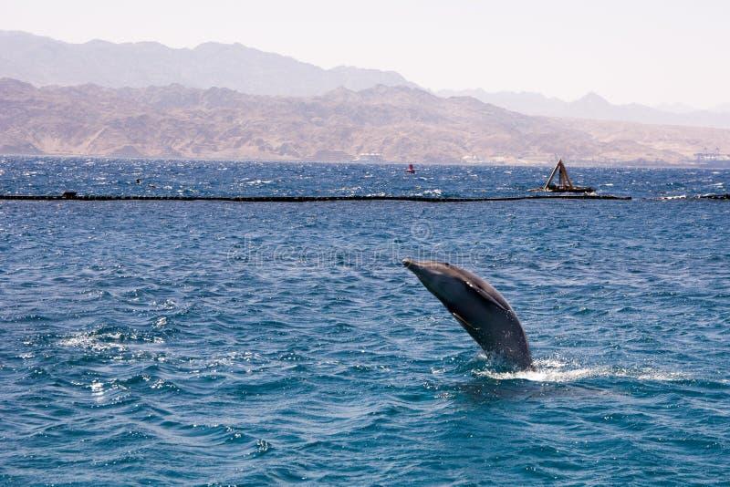 dolphine in Rode overzees, Eilat Israël wordt gespeeld dat stock afbeeldingen