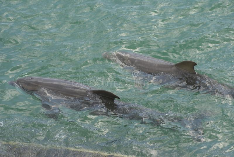Dolphines. A Cetacea marine life mammal animals swimming in water stock image