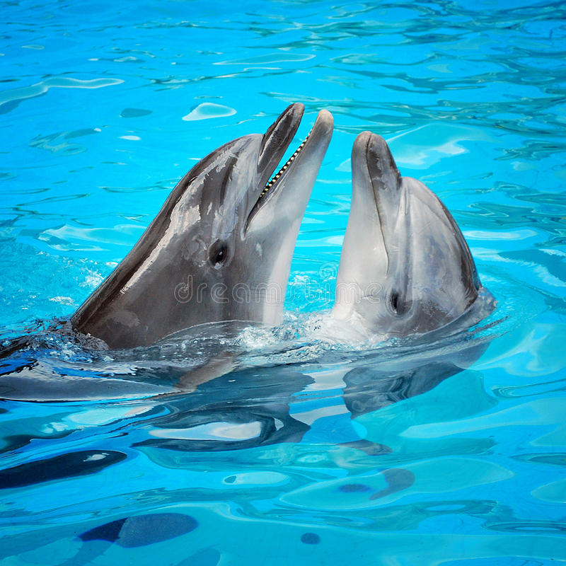 Dolphins. Pair of dolphins dancing in light-blue water