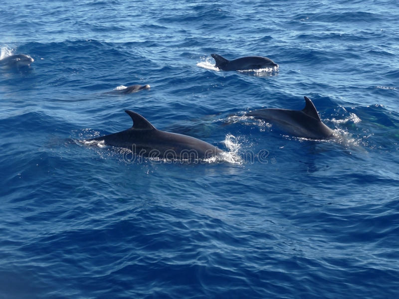 Download Dolphins stock image. Image of wildlife, oceanic, mammals - 13266653