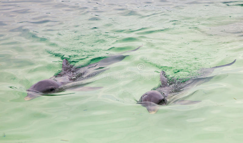 Download Dolphins stock photo. Image of male, dolphin, nature - 28561644