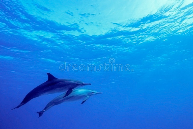 Dolphins. Into the blue ocean
