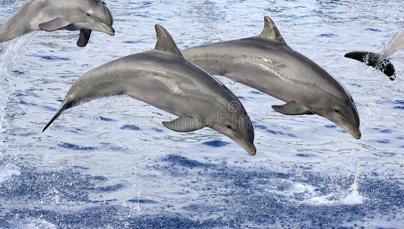 Dolphins. Swimming on blue ocean