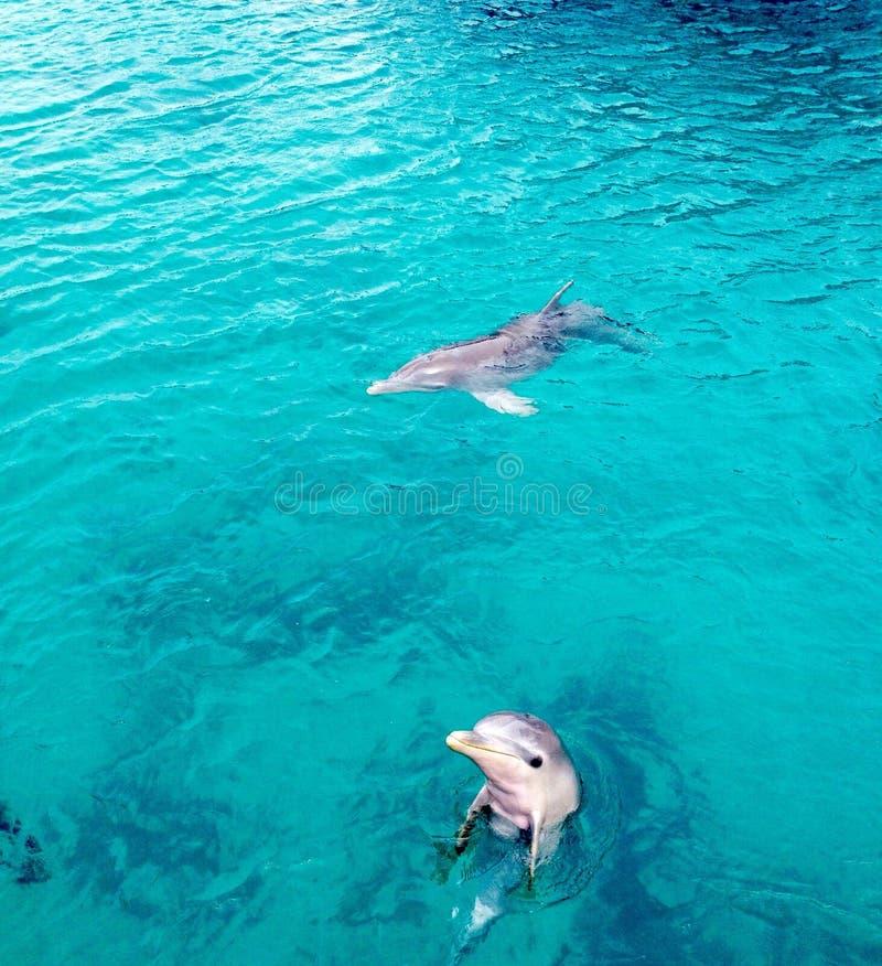 Dolphins bahamas royalty free stock photography