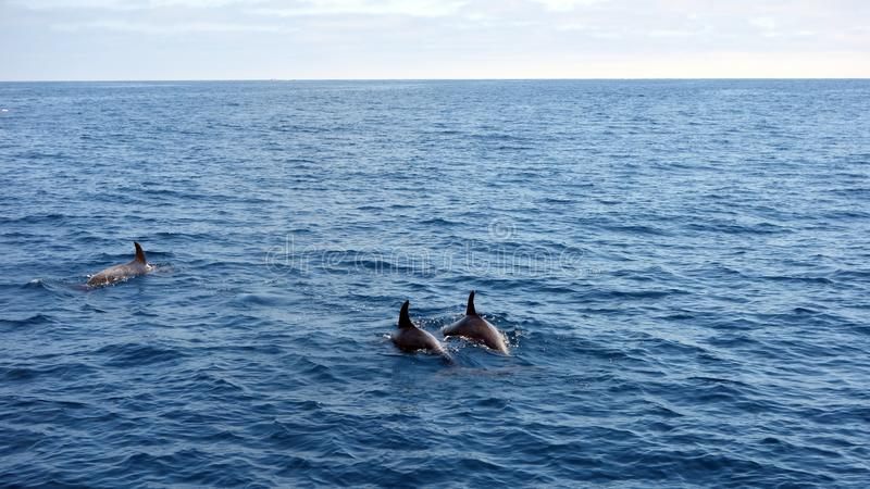 Dolphins in Open Sea. Dolphins black backs and dorsal fins sticking out of ocean water stock image
