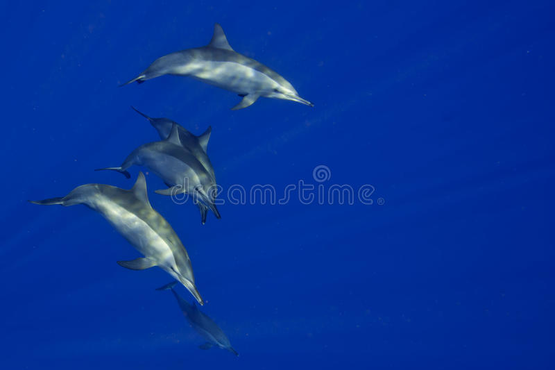 Dolphins Close to you while swimming in the deep blue sea scuba diving. In deep blue ocean stock photo